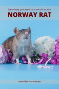 Norway rat pin