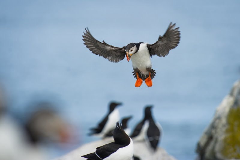 An Atlantic puffin in flight in Norway