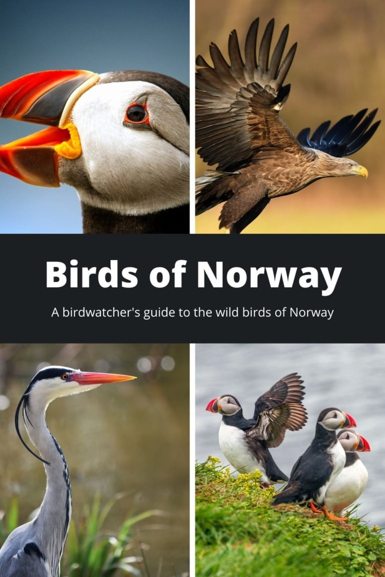 Birds of Norway: Atlantic puffins, white-tailed eagle, grey heron.