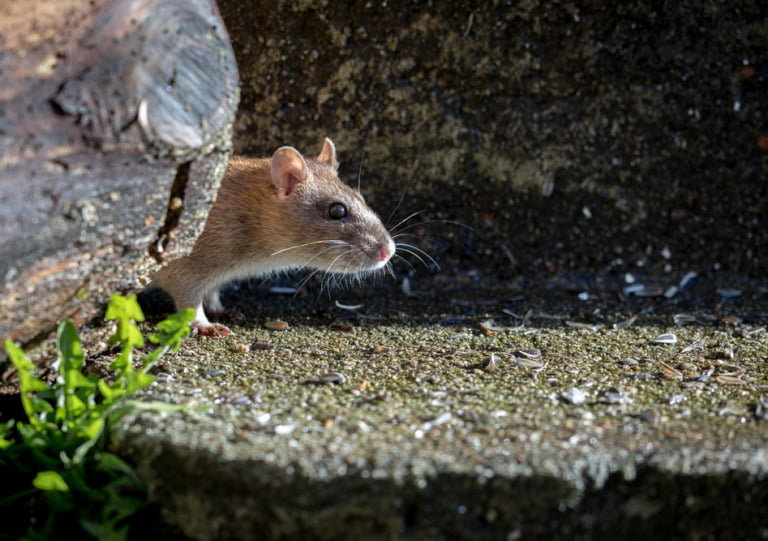 A curious brown rat in the wild
