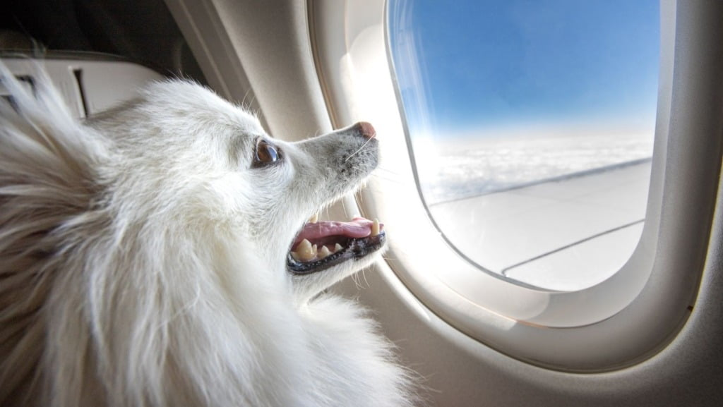 A dog looking out of a plane window while flying to Norway