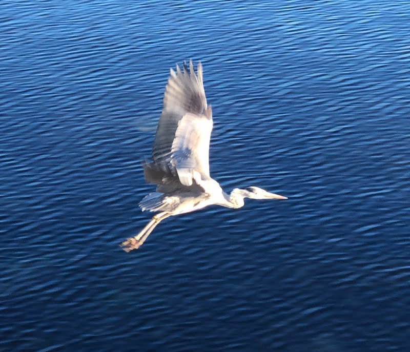 A grey heron in full flight in Stavanger, Norway