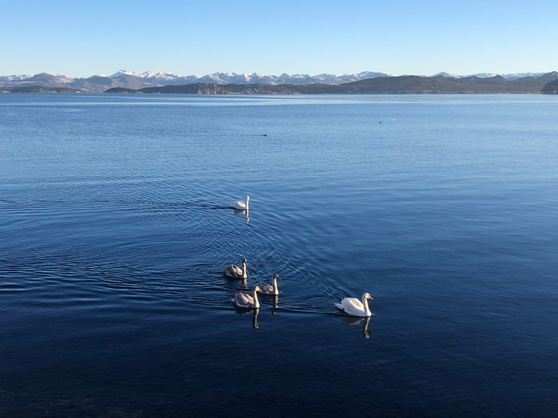 Mute swans on a Norwegian lake