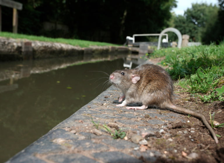 Norway rat by the canalside