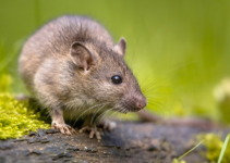 Norway Rat: An Adaptable Rodent Found All Over The World