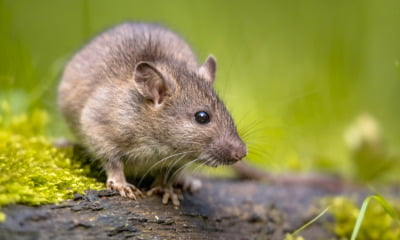 A brown Norway rat in the wild