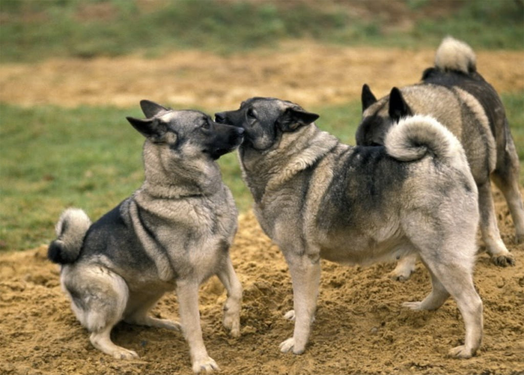 Norwegian Elkhound dogs playing together