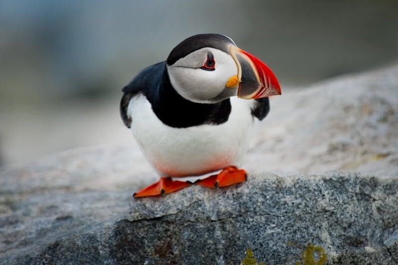 Birds in Norway: A Quick Birdwatcher's Guide – Life in Norway