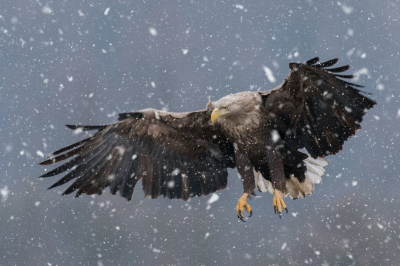 A white-tailed eagle in the snow