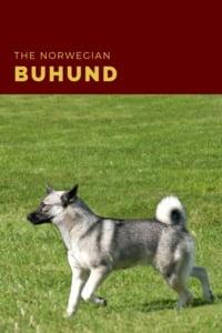 The Norwegian Buhund pin