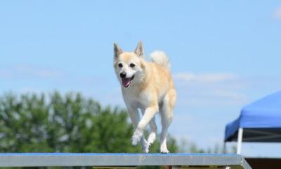The Norwegian Buhund dog