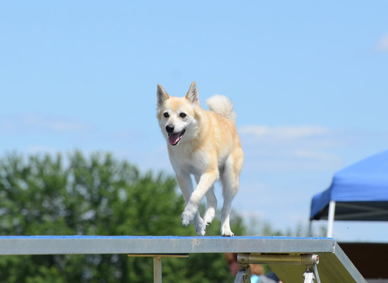 The Norwegian Buhund at a dog show