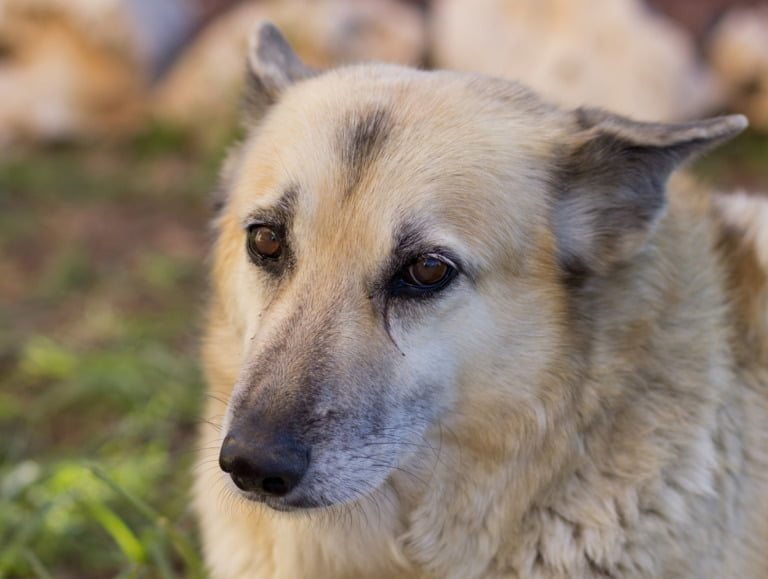 A close-up portrait photograph of the Norwegian Buhund dog.