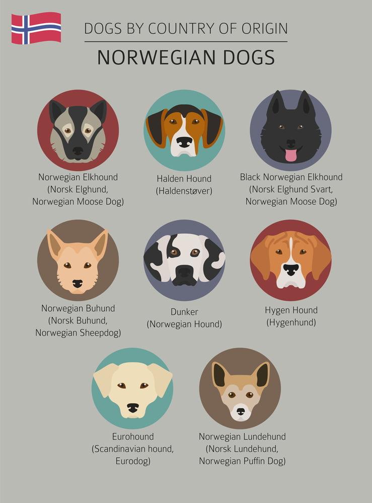 Chart of Norwegian dog breeds including the Buhund.