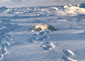 Polar Bear Killed In Svalbard Attack