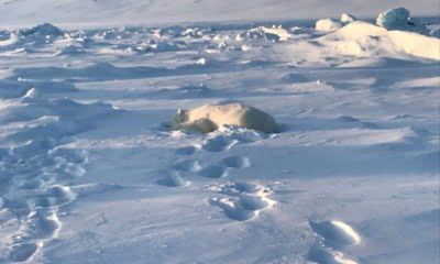 Polar bear killed in Svalbard