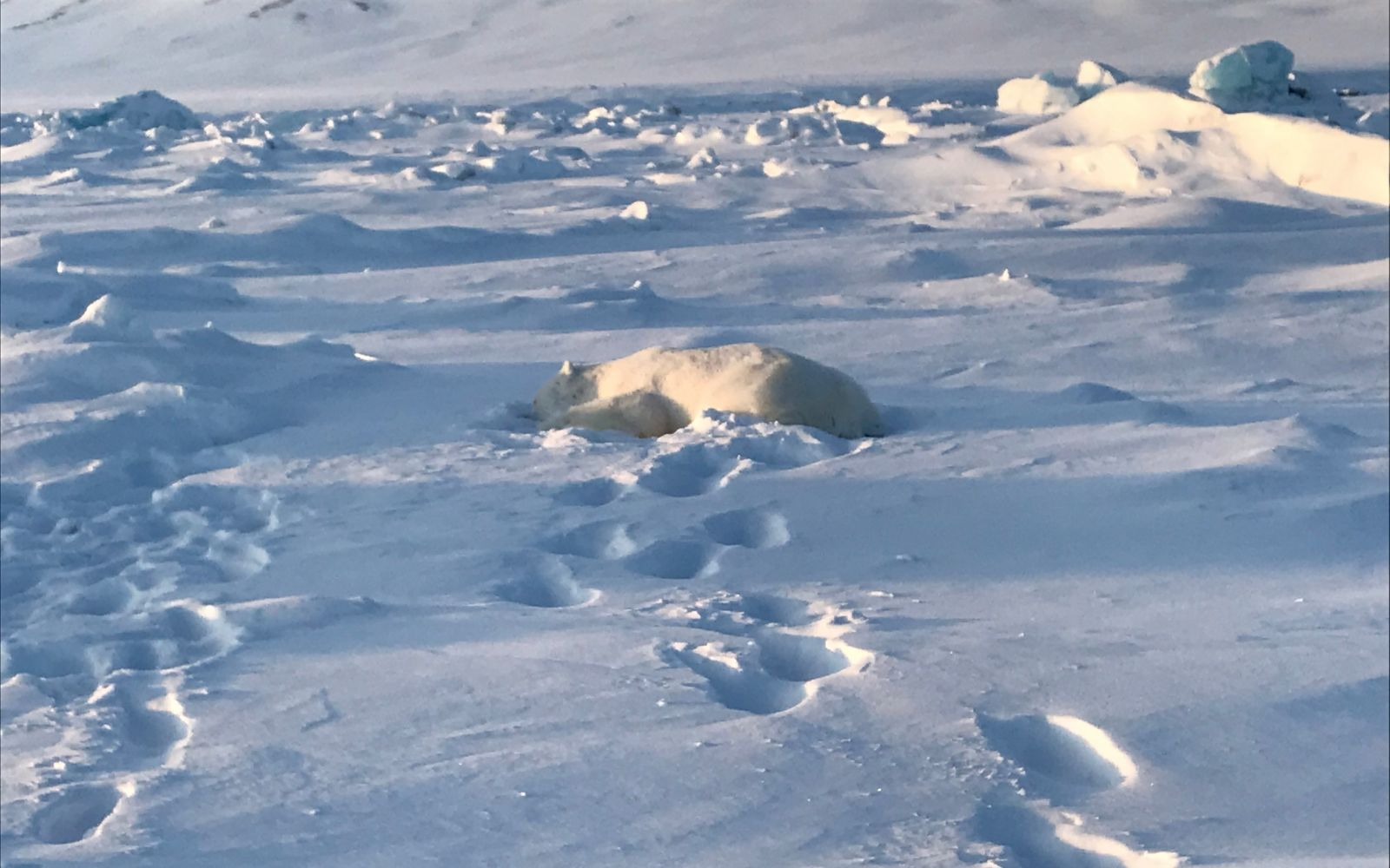 Polar Bear Killed In Svalbard Attack - Life in Norway