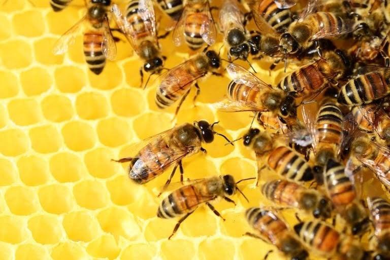 Viking honey bees