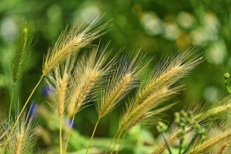 Wheat and grains