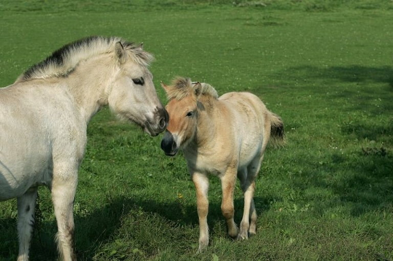 Young fjord horses in western Norway