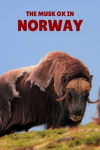 Musk ox in Norway pin
