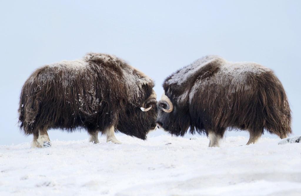 Musk Ox in the Norwegian winter