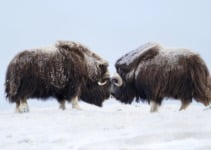 15 Facts About Norway's Mighty Musk Ox