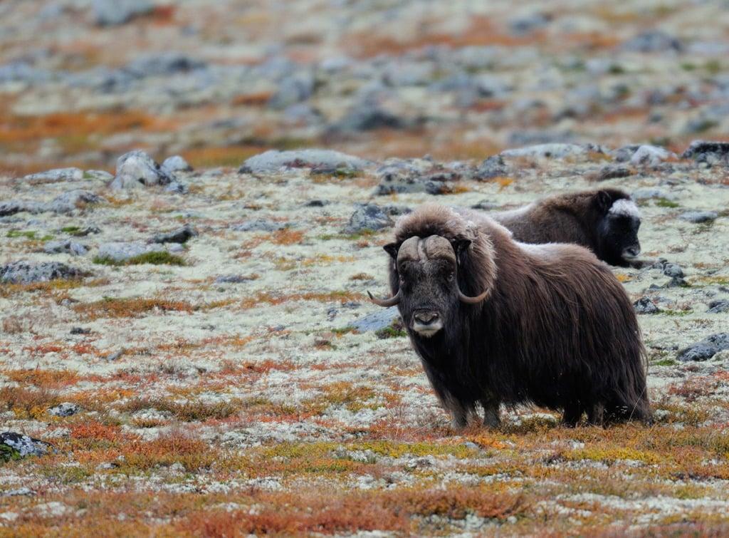 Norwegian musk ox in the autumn tundra of Norway.