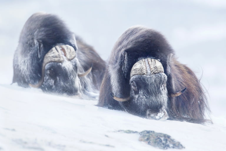 Two musk ox in the winter in the central Norway mountains.