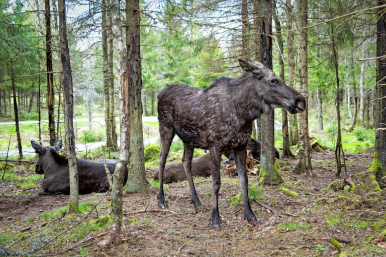 Moose resting in a Swedish forest