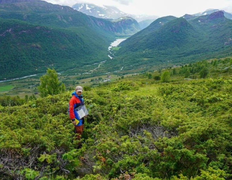 Juniper bushes hid the remains of the Viking settlement in Norway