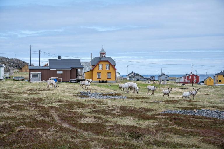 Reindeer graze in Hamningberg on the Varanger peninsula.