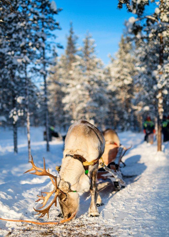 En reinflokk i det arktiske Finland